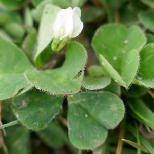 Photographie n°2477730 du taxon Trifolium subterraneum L. [1753]