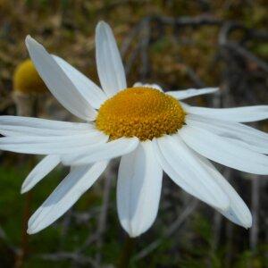Photographie n°2477890 du taxon Tripleurospermum inodorum (L.) Sch.Bip. [1844]