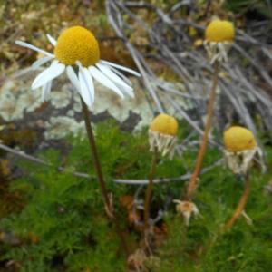 Photographie n°2477891 du taxon Tripleurospermum inodorum (L.) Sch.Bip. [1844]