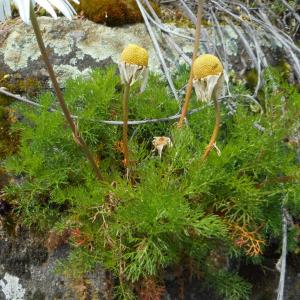 Photographie n°2477892 du taxon Tripleurospermum inodorum (L.) Sch.Bip. [1844]
