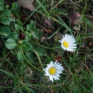 Photographie n°2478105 du taxon Bellis perennis L.