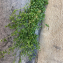 Tifaine - Cerastium fontanum Baumg.