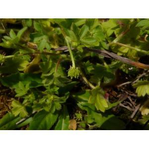 Ranunculus parviflorus L. subsp. parviflorus