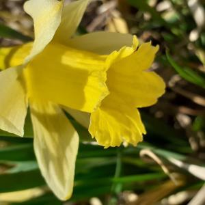 Photographie n°2478257 du taxon Narcissus pseudonarcissus L. [1753]