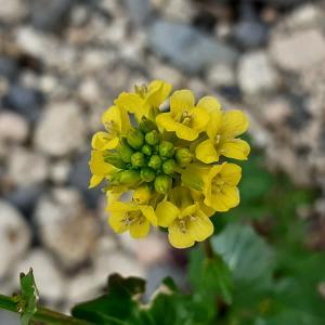 Photographie n°2478956 du taxon Barbarea vulgaris R.Br. [1812]