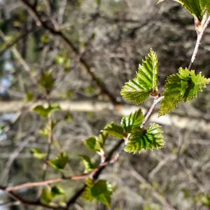 - Betula pubescens var. pubescens