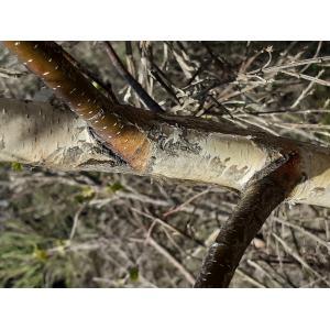 Betula pubescens Ehrh. var. pubescens (Bouleau blanc)