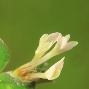 Photographie n°2479260 du taxon Trifolium subterraneum L. [1753]