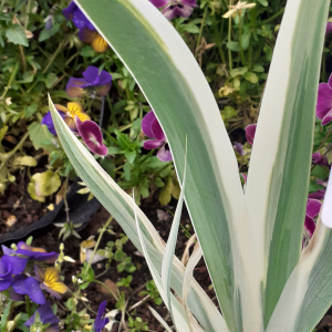 - Iris variegata L.