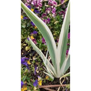 Iris variegata L. (Iris panaché)