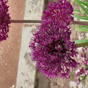 Photographie n°2479492 du taxon Allium L. [1753]