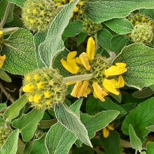 - Phlomis fruticosa L. [1753]