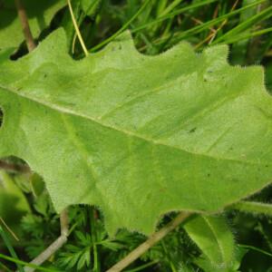 Photographie n°2479960 du taxon Crepis sancta subsp. nemausensis (Vill.) Babc. [1941]