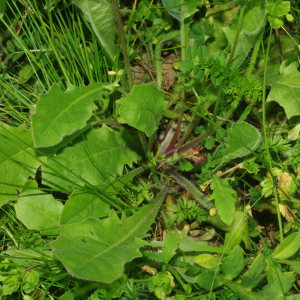 Photographie n°2479961 du taxon Crepis sancta subsp. nemausensis (Vill.) Babc. [1941]