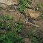 Fumaria capreolata L. [1753] [nn75465] par Jean-Luc Gorremans le 27/04/2021 - Athis-Mons