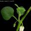 Salpichroa origanifolia (Lam.) Baill. [nn60062] par Sylvain Nivalys le 05/05/2021 - Leucate