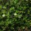 Arenaria serpyllifolia L. [1753] [nn6292] par Jean-Luc Gorremans le 30/03/2021 - Athis-Mons