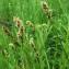 Carex otrubae Podp. [1922] [nn14171] par Jean-Luc Gorremans le 30/04/2021 - Athis-Mons
