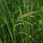 Carex pendula Huds. [1762] [nn14226] par Jean-Luc Gorremans le 30/04/2021 - Athis-Mons