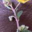 Liliane Roubaudi - Helianthemum canum (L.) Baumg. [1816]