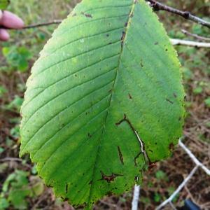 Photographie n°2480868 du taxon Ulmus glabra f. glabra