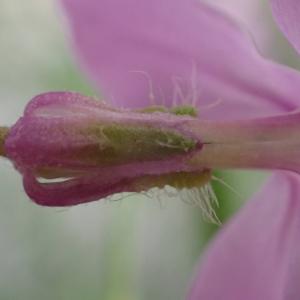 Photographie n°2481035 du taxon Hesperis matronalis L.
