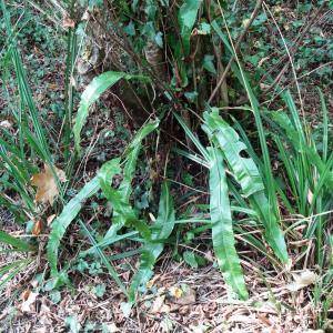 Photographie n°2481243 du taxon Asplenium scolopendrium L. [1753]