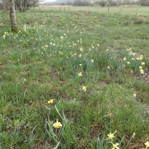 Photographie n°2481657 du taxon Narcissus pseudonarcissus L.