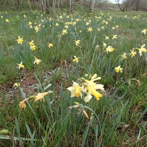Photographie n°2481658 du taxon Narcissus pseudonarcissus L.
