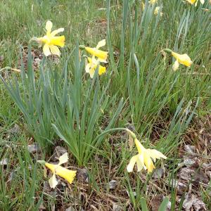 Photographie n°2481659 du taxon Narcissus pseudonarcissus L.