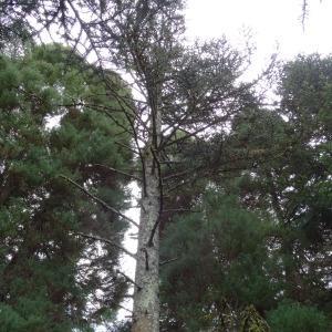Photographie n°2481814 du taxon Abies nobilis (Douglas ex Lamb.) Lindl. [1833]