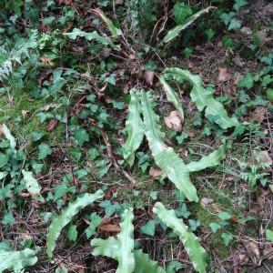 Photographie n°2481815 du taxon Asplenium scolopendrium L. [1753]