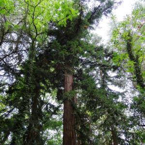 - Metasequoia glyptostroboides Hu & W.C.Cheng [1948]