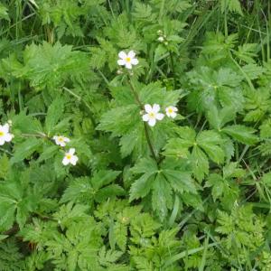 Photographie n°2482176 du taxon Ranunculus aconitifolius L. [1753]