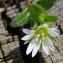 Sauvages du Roannais - Cerastium fontanum Baumg.