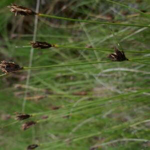Photographie n°2482516 du taxon Schoenus nigricans L. [1753]