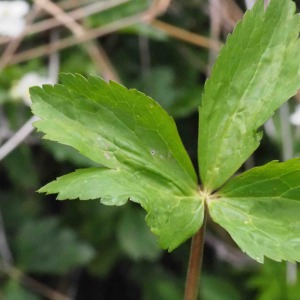 Photographie n°2482569 du taxon Ranunculus aconitifolius L. [1753]