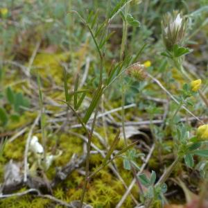 Photographie n°2483108 du taxon Vicia angustifolia L. [1759]