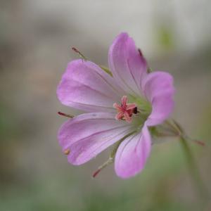 Photographie n°2483753 du taxon Geranium columbinum L.
