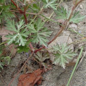 Photographie n°2483757 du taxon Geranium columbinum L.