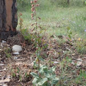Photographie n°2484163 du taxon Epipactis helleborine (L.) Crantz