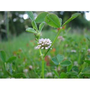Trifolium cernuum Brot. (Trèfle à fleurs penchées)