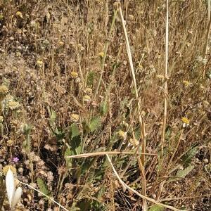 Photographie n°2485037 du taxon Hordeum murinum subsp. leporinum (Link) Arcang. [1882]