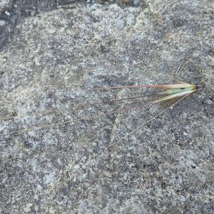 Photographie n°2485067 du taxon Hordeum murinum subsp. leporinum (Link) Arcang. [1882]