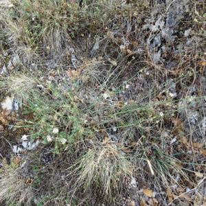 - Seseli montanum subsp. montanum