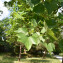 Photographie n°2485231 du taxon Quercus suber L. [1753]