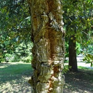 Photographie n°2485234 du taxon Quercus suber L. [1753]