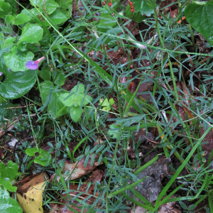 Photographie n°2485389 du taxon Vicia angustifolia L. [1759]