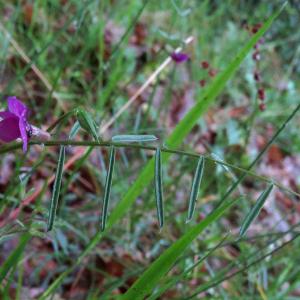 Photographie n°2485390 du taxon Vicia angustifolia L. [1759]