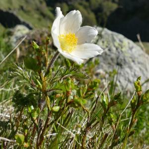 Anemone scherfelii Ullep. subsp. scherfelii